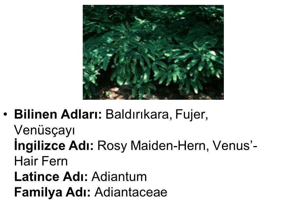 •Bilinen Adları: Baldırıkara, Fujer, Venüsçayı İngilizce Adı: Rosy Maiden-Hern, Venus'- Hair Fern Latince Adı: Adiantum Familya Adı: Adiantaceae