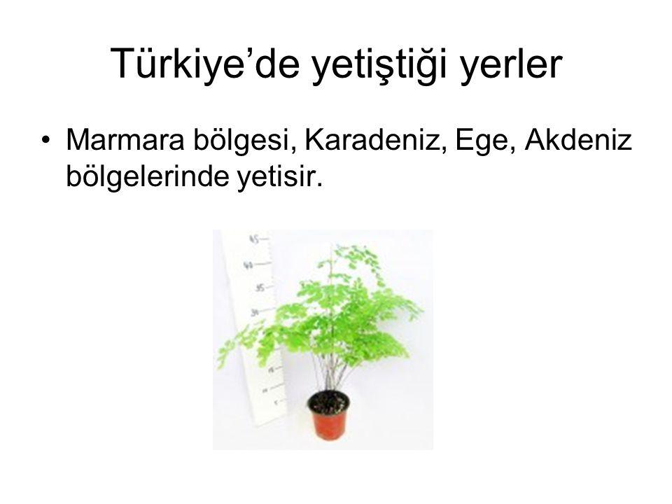 Türkiye'de yetiştiği yerler •Marmara bölgesi, Karadeniz, Ege, Akdeniz bölgelerinde yetisir.