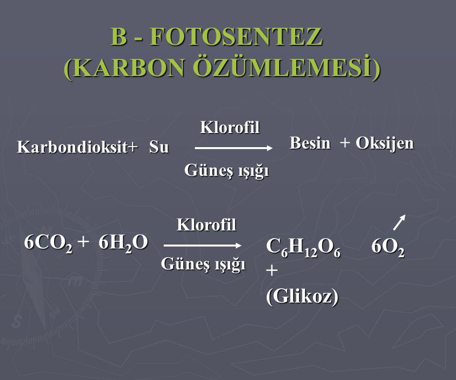 B - FOTOSENTEZ (KARBON ÖZÜMLEMESİ) Karbondioksit+ Klorofil Besin Güneş ışığı 6CO 2 6CO 2 + C 6 H 12 O 6 C 6 H 12 O 6 +(Glikoz) Klorofil Güneş ışığı Su +Oksijen 6H 2 O 6O 2