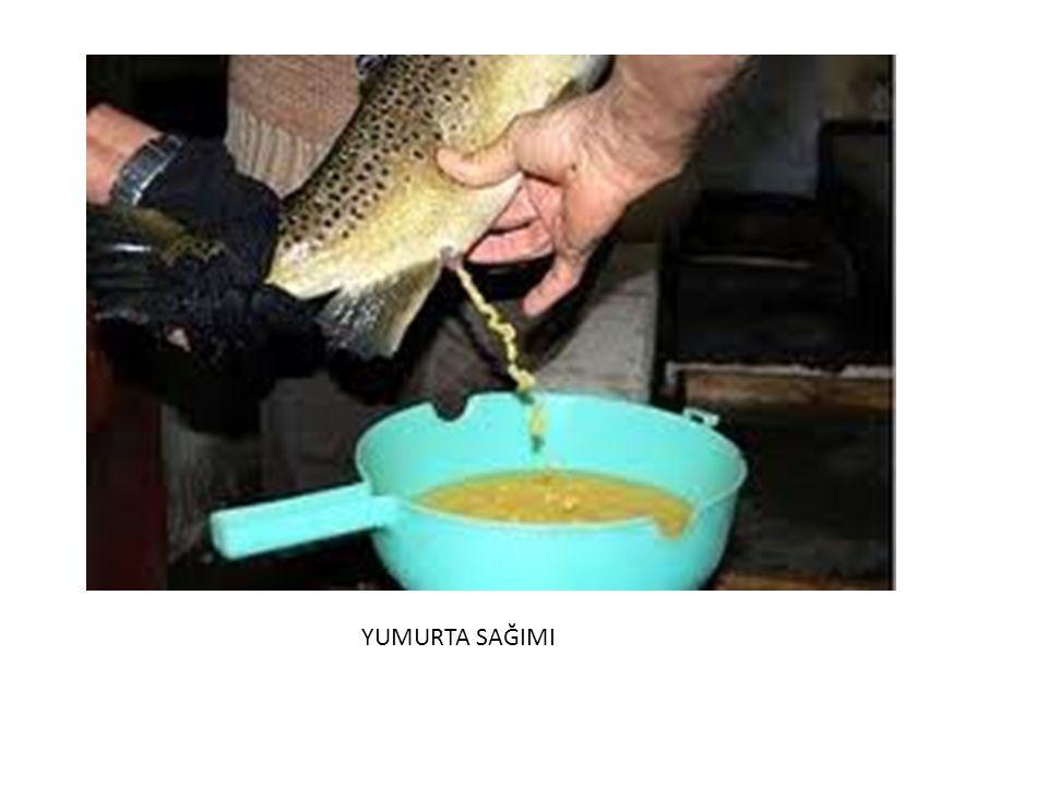 HORMON UYGULANMASI: Yumurtlamayı çabuklaştırmak için,dorsal yüzgeç kaidesine intramuskular(Human Chronic Gonadotrophine) enjekte edilebilir (KATAVİC- REGNER.1982) 48 saat aralıklar ile 2 seri enjeksiyon yapılır.Balıktaki yumurta olgunluğunu tespit için pipet yardımıyla vakumla alınan yumurtaların çapı ölçülebilir.