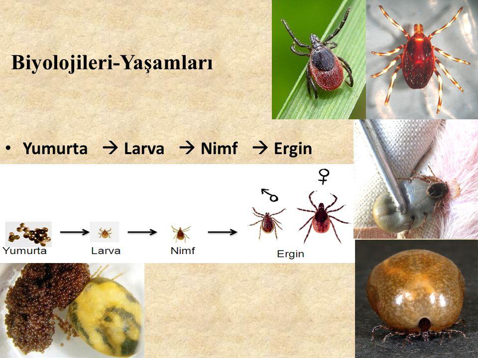 Biyolojileri-Yaşamları • Yumurta  Larva  Nimf  Ergin