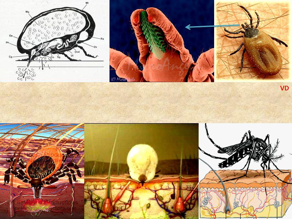 • Kan kaybı • Isırdığı yerde küçük yara ve bazı diğer sorunlar • 200'den fazla hastalığın vektörü – Farklı hayvanlardan kan emiyor
