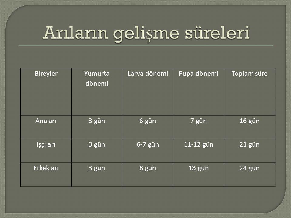 Bireyler Yumurta dönemi Larva dönemiPupa dönemiToplam süre Ana arı3 gün6 gün7 gün16 gün İşçi arı3 gün6-7 gün11-12 gün21 gün Erkek arı3 gün8 gün13 gün2
