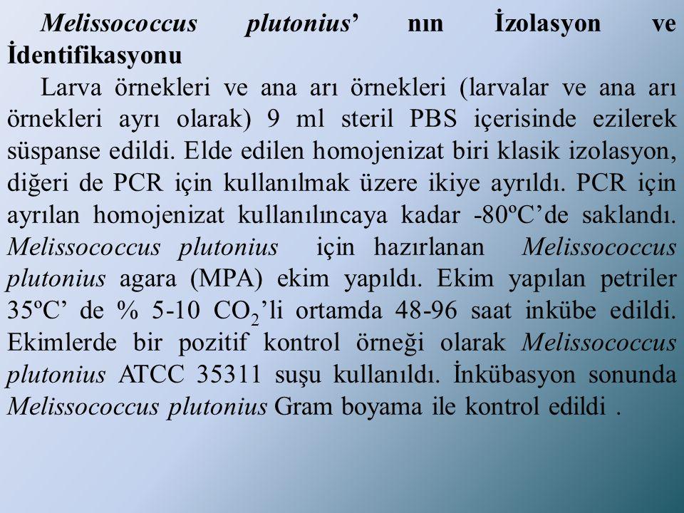 Melissococcus plutonius' nın İzolasyon ve İdentifikasyonu Larva örnekleri ve ana arı örnekleri (larvalar ve ana arı örnekleri ayrı olarak) 9 ml steril