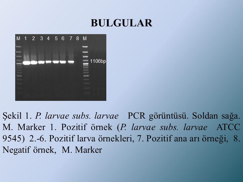 BULGULAR Şekil 1. P. larvae subs. larvae PCR görüntüsü. Soldan sağa. M. Marker 1. Pozitif örnek (P. larvae subs. larvae ATCC 9545) 2.-6. Pozitif larva