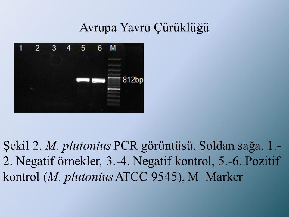 Avrupa Yavru Çürüklüğü Şekil 2. M. plutonius PCR görüntüsü. Soldan sağa. 1.- 2. Negatif örnekler, 3.-4. Negatif kontrol, 5.-6. Pozitif kontrol (M. plu