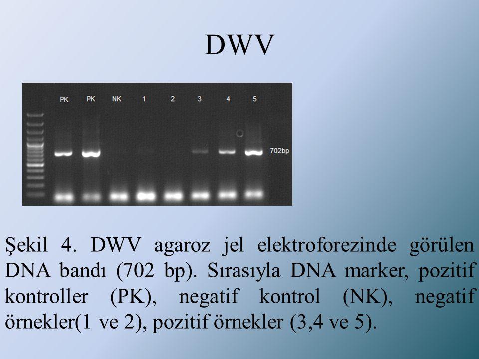 DWV Şekil 4. DWV agaroz jel elektroforezinde görülen DNA bandı (702 bp). Sırasıyla DNA marker, pozitif kontroller (PK), negatif kontrol (NK), negatif