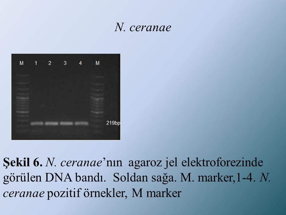 N. ceranae Şekil 6. N. ceranae'nın agaroz jel elektroforezinde görülen DNA bandı. Soldan sağa. M. marker,1-4. N. ceranae pozitif örnekler, M marker
