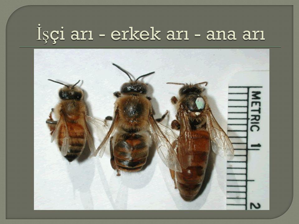  Koloni populasyonu=i ş çi arılar  İ lkbaharda 10-15.000 i ş çi arılı koloniler  Bal mevsiminde 70-80.000 i ş çi arılı koloniler  Erkek arılar o ğ ul mevsiminde 300 -500 kadar  İş çi arı gözleri  Erkek arı gözleri  Ana arı gözleri
