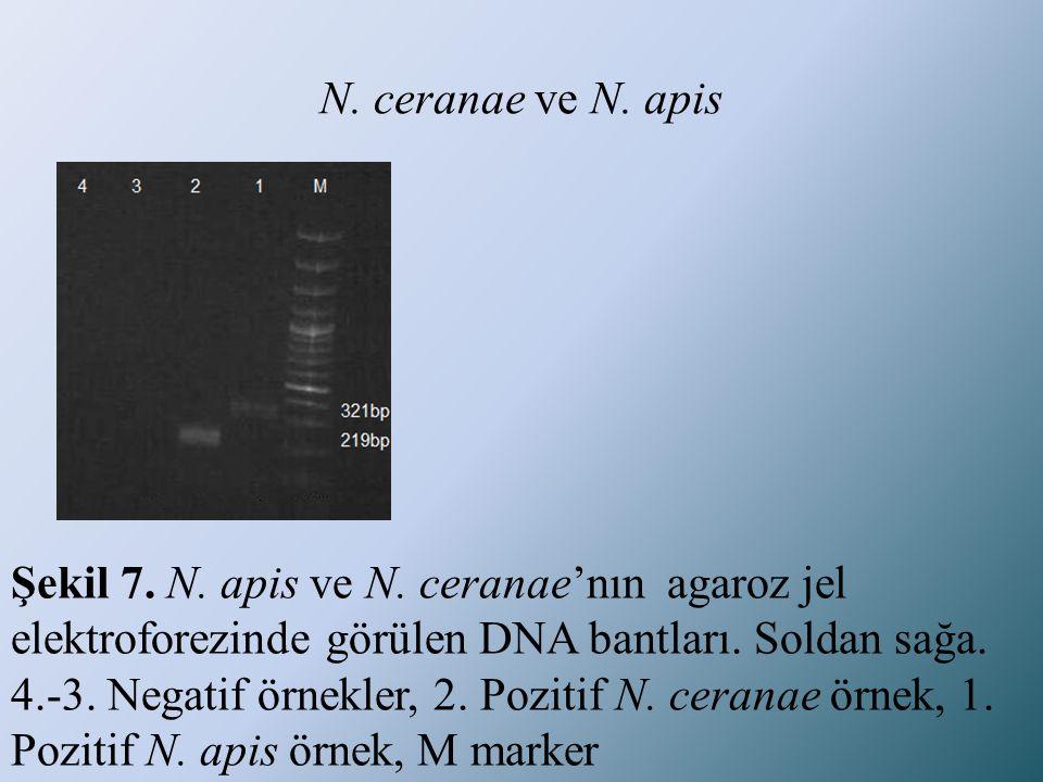N. ceranae ve N. apis Şekil 7. N. apis ve N. ceranae'nın agaroz jel elektroforezinde görülen DNA bantları. Soldan sağa. 4.-3. Negatif örnekler, 2. Poz