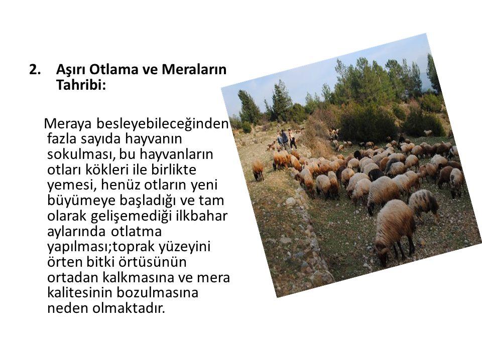 2.Aşırı Otlama ve Meraların Tahribi: Meraya besleyebileceğinden fazla sayıda hayvanın sokulması, bu hayvanların otları kökleri ile birlikte yemesi, he