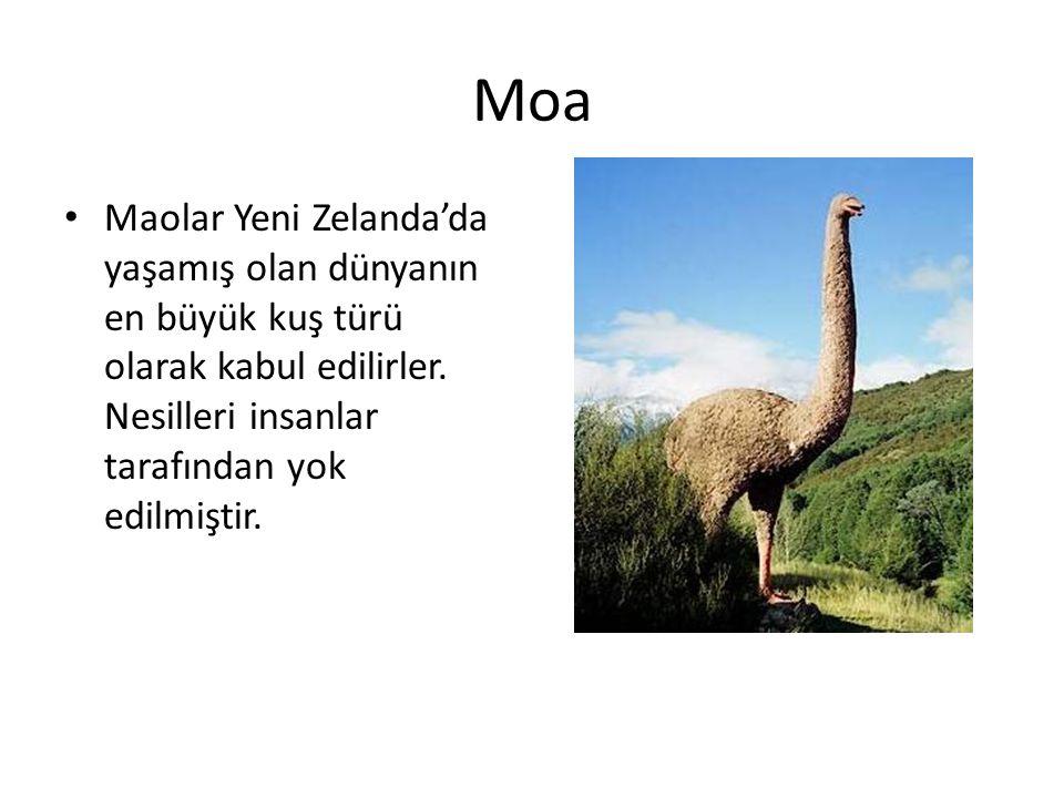 Moa • Maolar Yeni Zelanda'da yaşamış olan dünyanın en büyük kuş türü olarak kabul edilirler. Nesilleri insanlar tarafından yok edilmiştir.