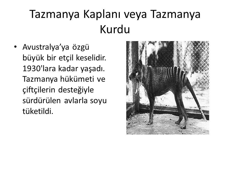Tazmanya Kaplanı veya Tazmanya Kurdu • Avustralya'ya özgü büyük bir etçil keselidir. 1930'lara kadar yaşadı. Tazmanya hükümeti ve çiftçilerin desteğiy