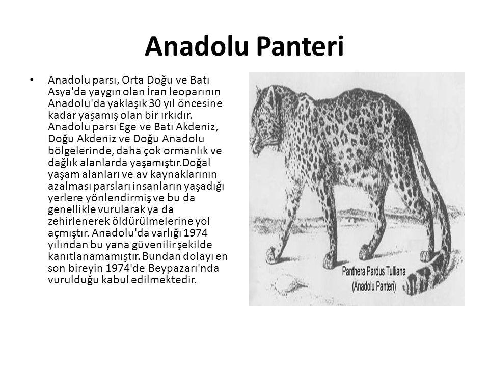 Anadolu Panteri • Anadolu parsı, Orta Doğu ve Batı Asya'da yaygın olan İran leoparının Anadolu'da yaklaşık 30 yıl öncesine kadar yaşamış olan bir ırkı