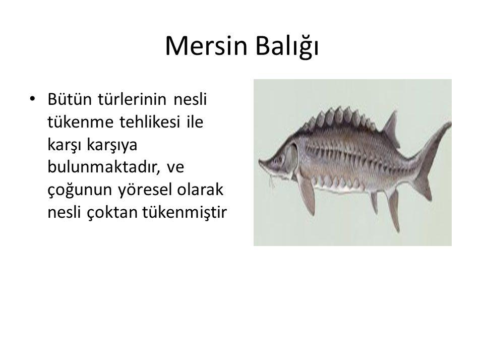 Mersin Balığı • Bütün türlerinin nesli tükenme tehlikesi ile karşı karşıya bulunmaktadır, ve çoğunun yöresel olarak nesli çoktan tükenmiştir