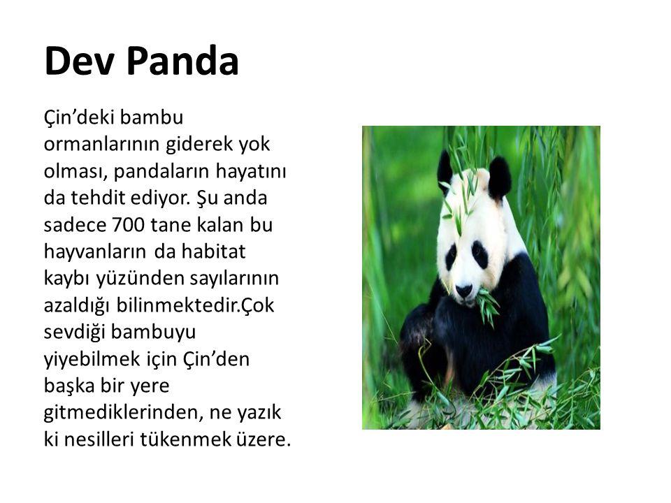 Dev Panda Çin'deki bambu ormanlarının giderek yok olması, pandaların hayatını da tehdit ediyor. Şu anda sadece 700 tane kalan bu hayvanların da habita