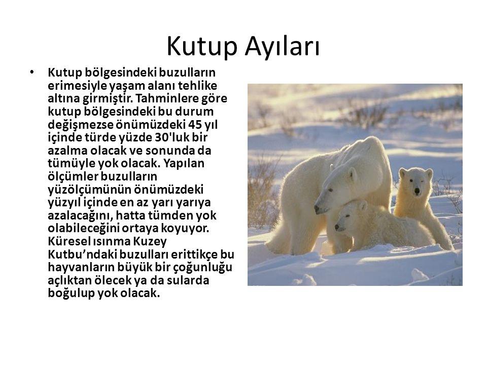 Kutup Ayıları • Kutup bölgesindeki buzulların erimesiyle yaşam alanı tehlike altına girmiştir. Tahminlere göre kutup bölgesindeki bu durum değişmezse