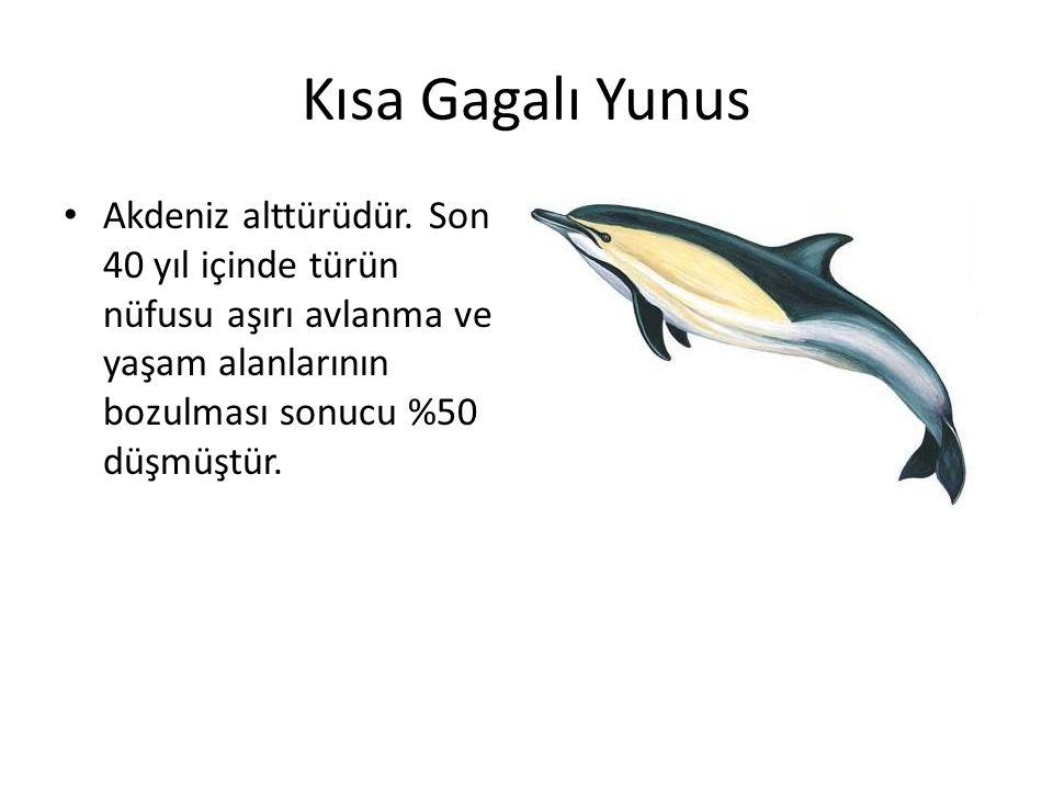 Kısa Gagalı Yunus • Akdeniz alttürüdür. Son 40 yıl içinde türün nüfusu aşırı avlanma ve yaşam alanlarının bozulması sonucu %50 düşmüştür.
