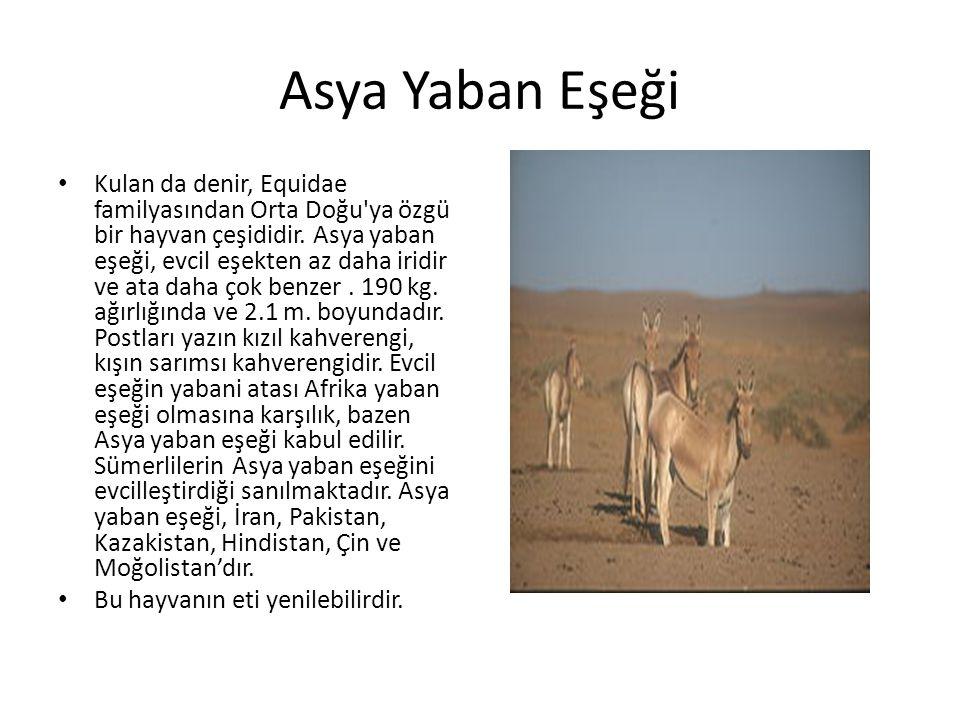Asya Yaban Eşeği • Kulan da denir, Equidae familyasından Orta Doğu'ya özgü bir hayvan çeşididir. Asya yaban eşeği, evcil eşekten az daha iridir ve ata