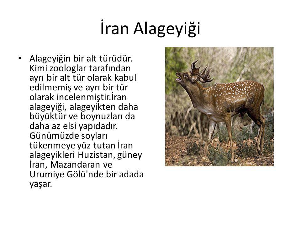 İran Alageyiği • Alageyiğin bir alt türüdür. Kimi zoologlar tarafından ayrı bir alt tür olarak kabul edilmemiş ve ayrı bir tür olarak incelenmiştir.İr