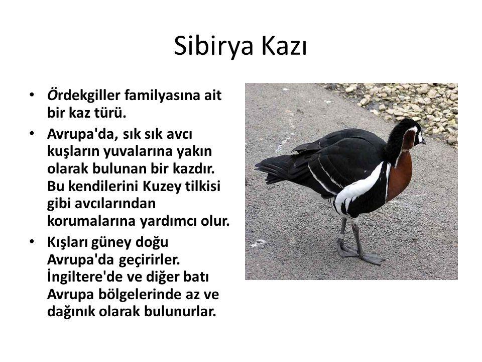 Sibirya Kazı • Ördekgiller familyasına ait bir kaz türü. • Avrupa'da, sık sık avcı kuşların yuvalarına yakın olarak bulunan bir kazdır. Bu kendilerini