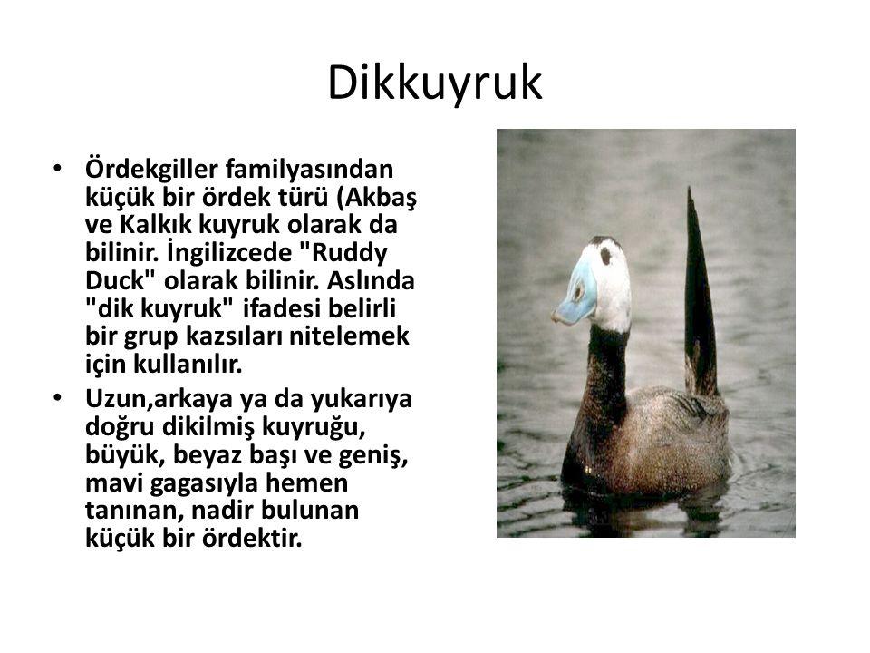 Dikkuyruk • Ördekgiller familyasından küçük bir ördek türü (Akbaş ve Kalkık kuyruk olarak da bilinir. İngilizcede