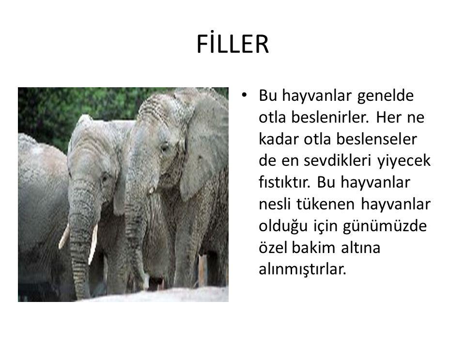 FİLLER • Bu hayvanlar genelde otla beslenirler. Her ne kadar otla beslenseler de en sevdikleri yiyecek fıstıktır. Bu hayvanlar nesli tükenen hayvanlar