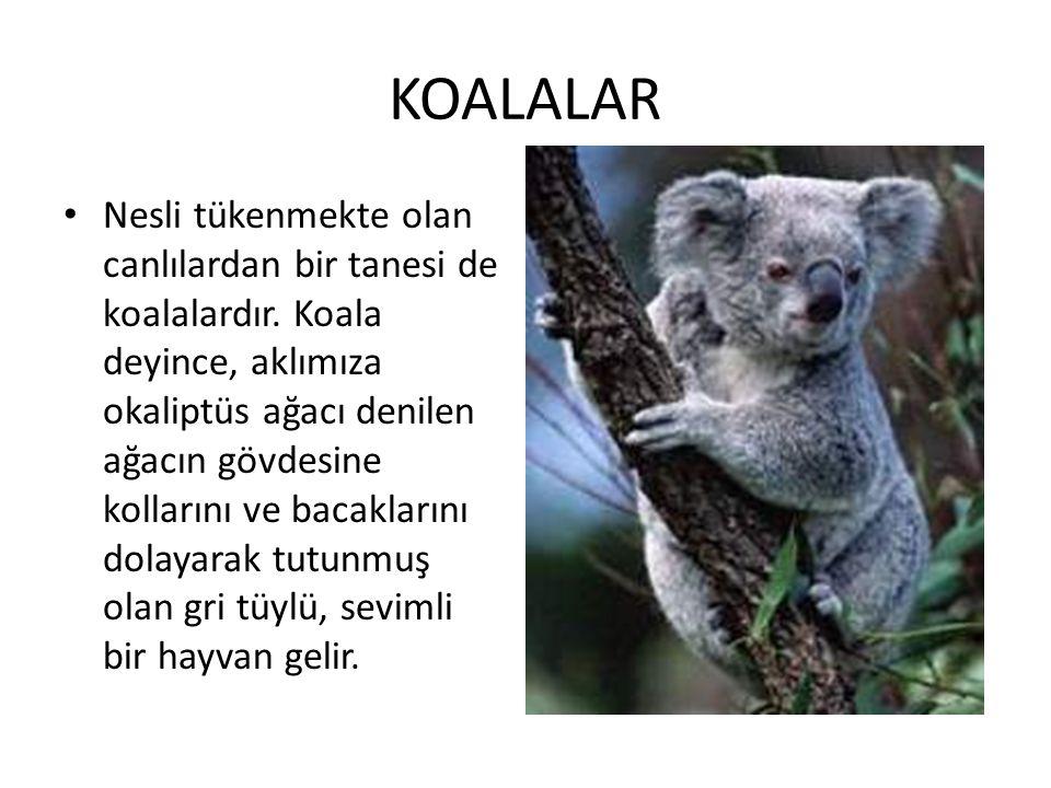 KOALALAR • Nesli tükenmekte olan canlılardan bir tanesi de koalalardır. Koala deyince, aklımıza okaliptüs ağacı denilen ağacın gövdesine kollarını ve