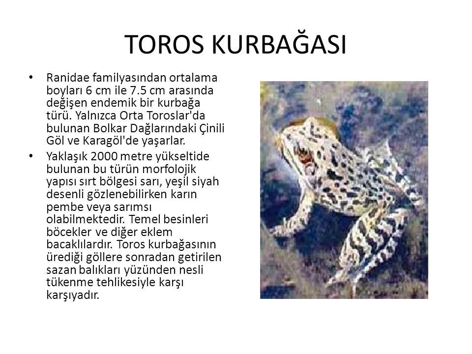 TOROS KURBAĞASI • Ranidae familyasından ortalama boyları 6 cm ile 7.5 cm arasında değişen endemik bir kurbağa türü. Yalnızca Orta Toroslar'da bulunan