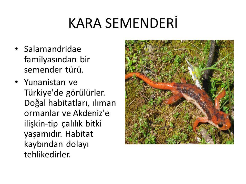 KARA SEMENDERİ • Salamandridae familyasından bir semender türü. • Yunanistan ve Türkiye'de görülürler. Doğal habitatları, ılıman ormanlar ve Akdeniz'e