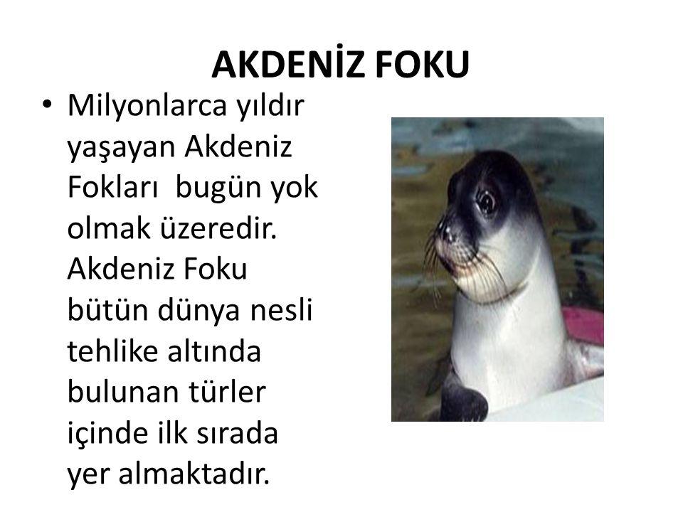 AKDENİZ FOKU • Milyonlarca yıldır yaşayan Akdeniz Fokları bugün yok olmak üzeredir. Akdeniz Foku bütün dünya nesli tehlike altında bulunan türler için