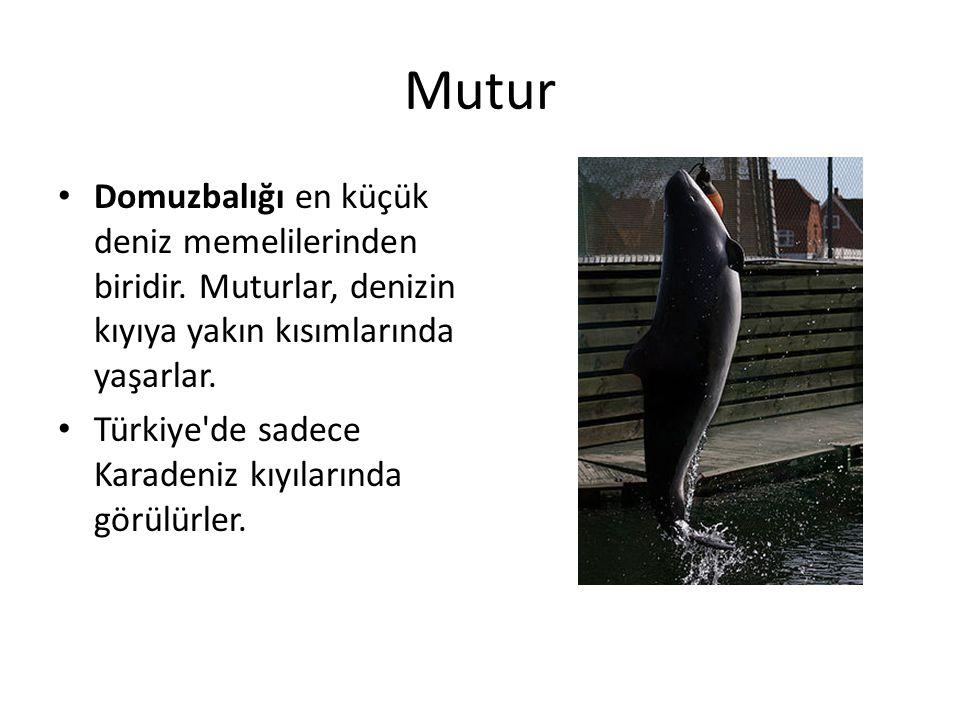 Mutur • Domuzbalığı en küçük deniz memelilerinden biridir. Muturlar, denizin kıyıya yakın kısımlarında yaşarlar. • Türkiye'de sadece Karadeniz kıyılar