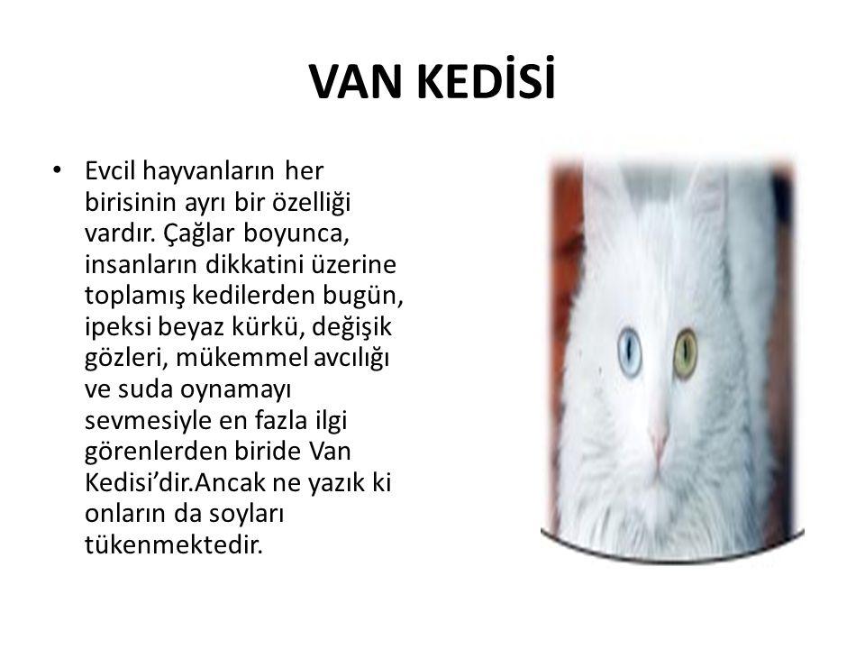 VAN KEDİSİ • Evcil hayvanların her birisinin ayrı bir özelliği vardır. Çağlar boyunca, insanların dikkatini üzerine toplamış kedilerden bugün, ipeksi