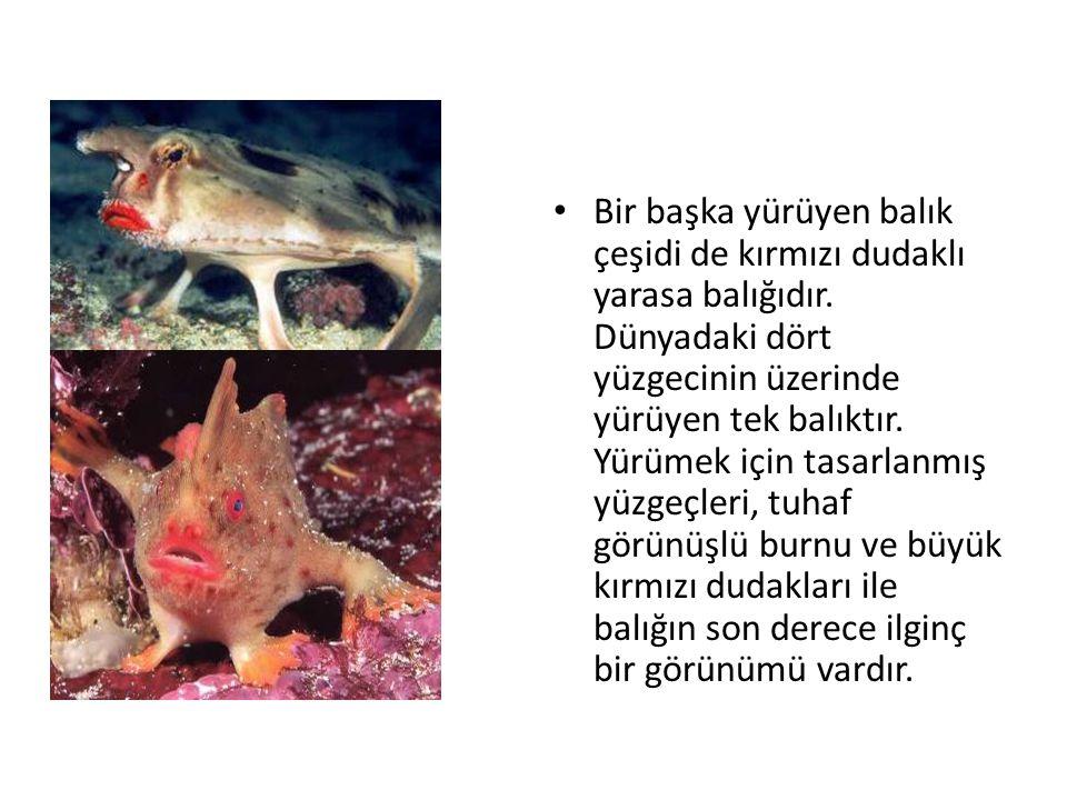 • Bir başka yürüyen balık çeşidi de kırmızı dudaklı yarasa balığıdır. Dünyadaki dört yüzgecinin üzerinde yürüyen tek balıktır. Yürümek için tasarlanmı