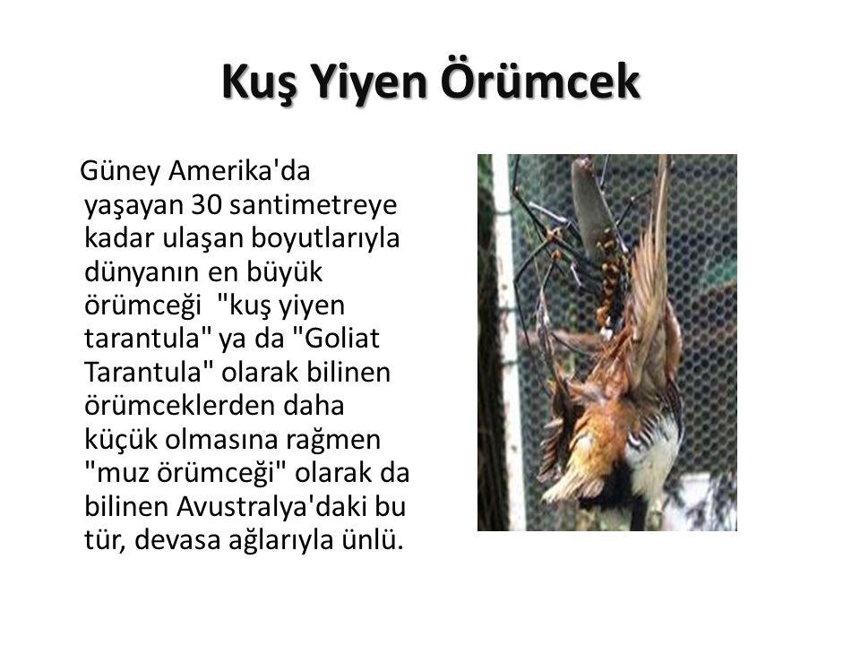 Kuş Yiyen Örümcek Güney Amerika'da yaşayan 30 santimetreye kadar ulaşan boyutlarıyla dünyanın en büyük örümceği