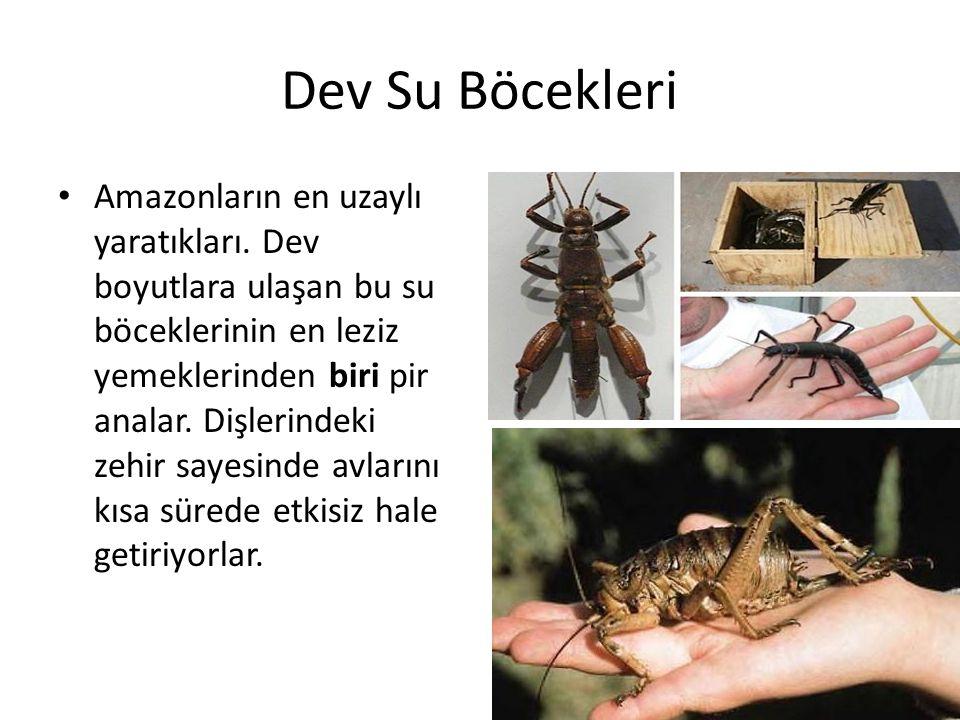 Dev Su Böcekleri • Amazonların en uzaylı yaratıkları. Dev boyutlara ulaşan bu su böceklerinin en leziz yemeklerinden biri pir analar. Dişlerindeki zeh