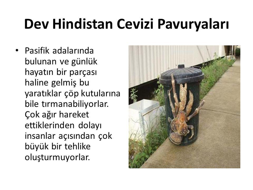 Dev Hindistan Cevizi Pavuryaları • Pasifik adalarında bulunan ve günlük hayatın bir parçası haline gelmiş bu yaratıklar çöp kutularına bile tırmanabil