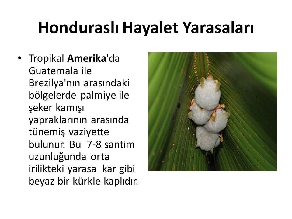 Honduraslı Hayalet Yarasaları • Tropikal Amerika'da Guatemala ile Brezilya'nın arasındaki bölgelerde palmiye ile şeker kamışı yapraklarının arasında t