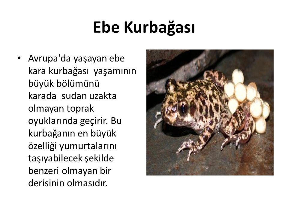 Ebe Kurbağası • Avrupa'da yaşayan ebe kara kurbağası yaşamının büyük bölümünü karada sudan uzakta olmayan toprak oyuklarında geçirir. Bu kurbağanın en