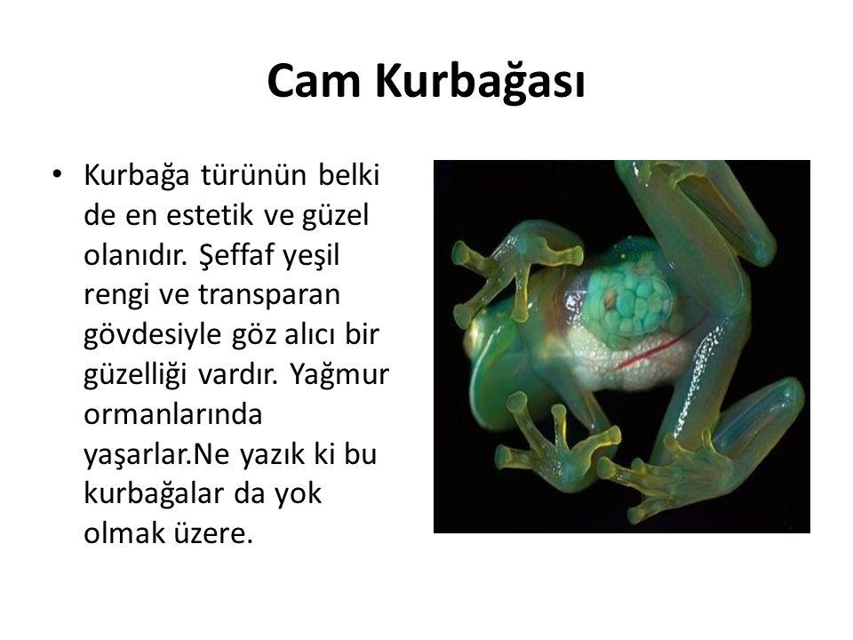 Cam Kurbağası • Kurbağa türünün belki de en estetik ve güzel olanıdır. Şeffaf yeşil rengi ve transparan gövdesiyle göz alıcı bir güzelliği vardır. Yağ