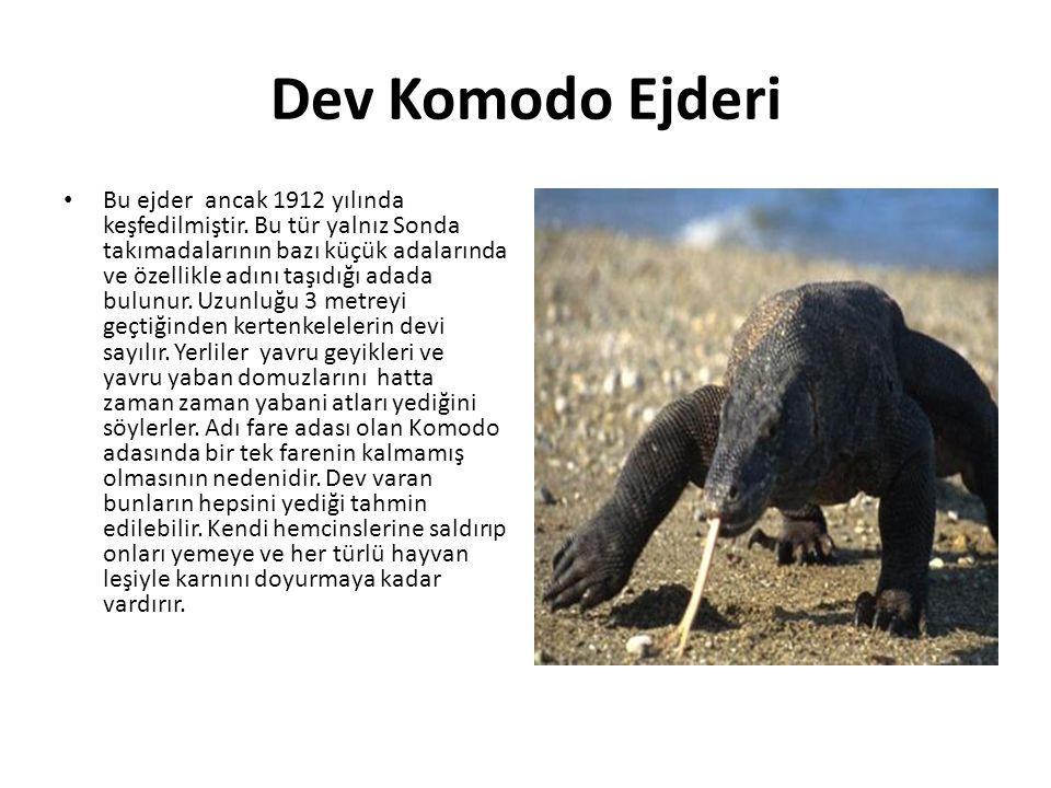 Dev Komodo Ejderi • Bu ejder ancak 1912 yılında keşfedilmiştir. Bu tür yalnız Sonda takımadalarının bazı küçük adalarında ve özellikle adını taşıdığı