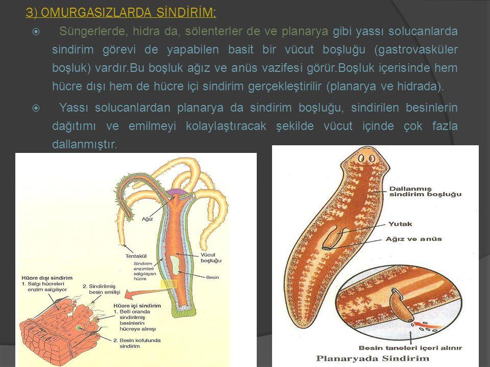 3) OMURGASIZLARDA SİNDİRİM;  Süngerlerde, hidra da, sölenterler de ve planarya gibi yassı solucanlarda sindirim görevi de yapabilen basit bir vücut b