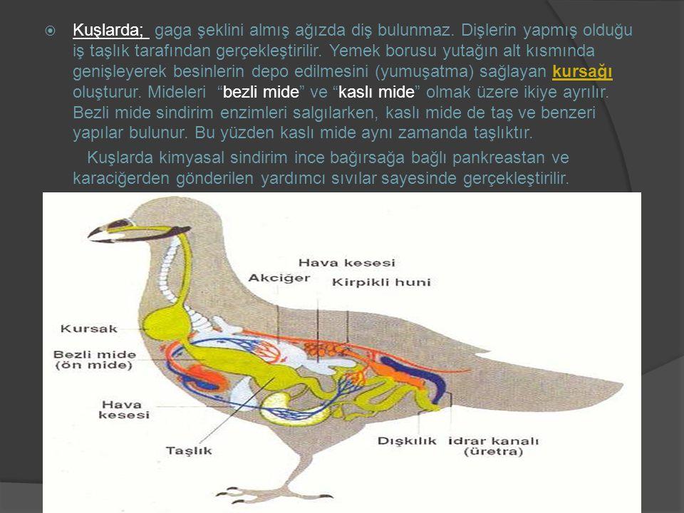  Kuşlarda; gaga şeklini almış ağızda diş bulunmaz. Dişlerin yapmış olduğu iş taşlık tarafından gerçekleştirilir. Yemek borusu yutağın alt kısmında ge