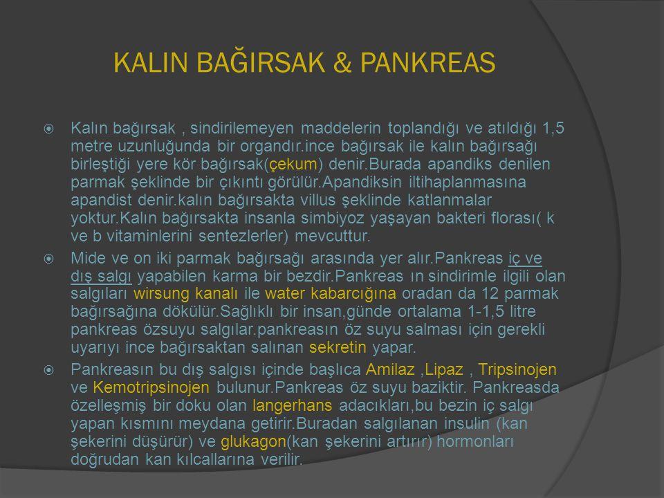 KALIN BAĞIRSAK & PANKREAS  Kalın bağırsak, sindirilemeyen maddelerin toplandığı ve atıldığı 1,5 metre uzunluğunda bir organdır.ince bağırsak ile kalı