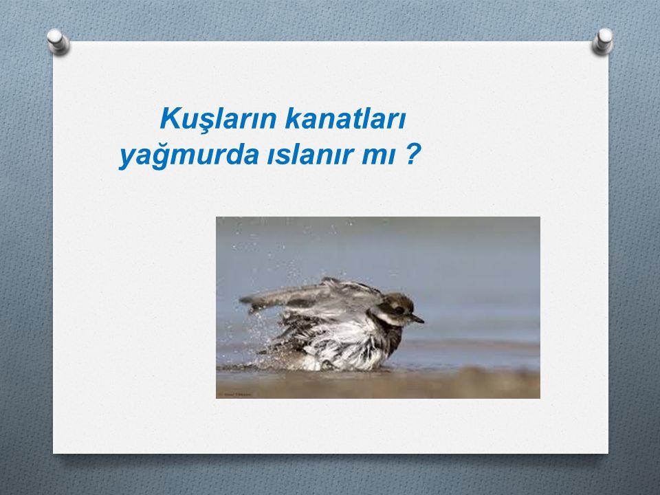 Kuşların kanatları yağmurda ıslanır mı ?