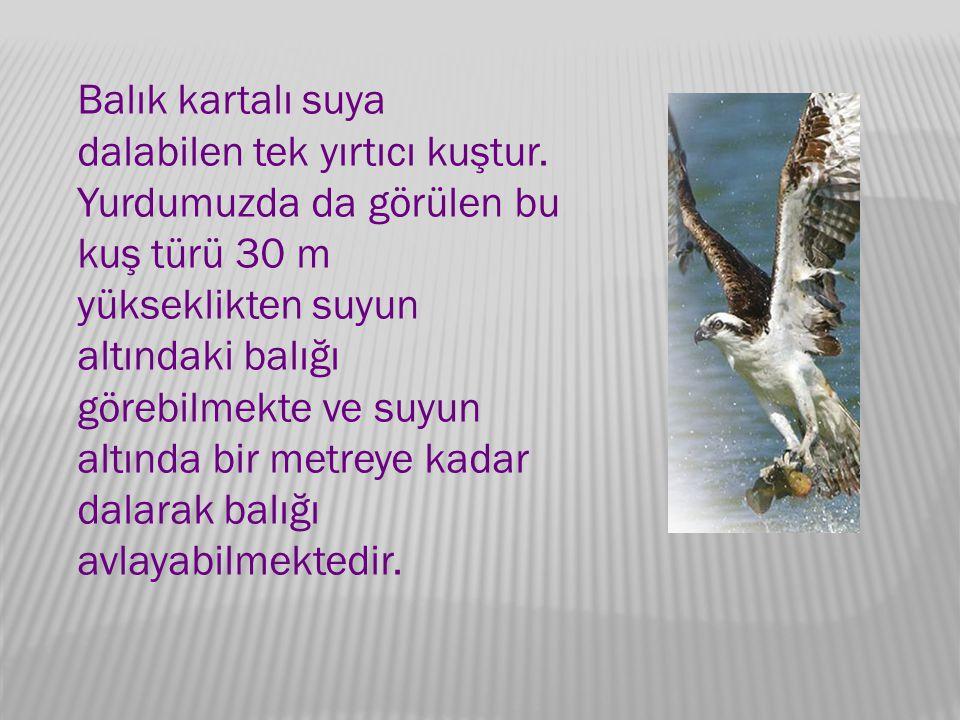 Balık kartalı suya dalabilen tek yırtıcı kuştur.