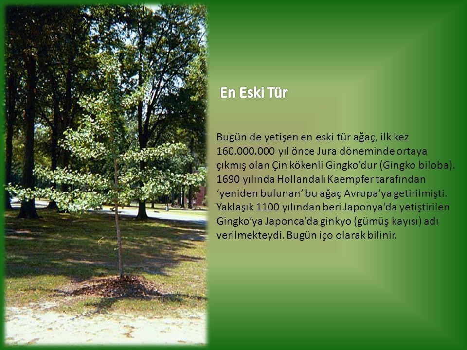 Bugün de yetişen en eski tür ağaç, ilk kez 160.000.000 yıl önce Jura döneminde ortaya çıkmış olan Çin kökenli Gingko'dur (Gingko biloba).