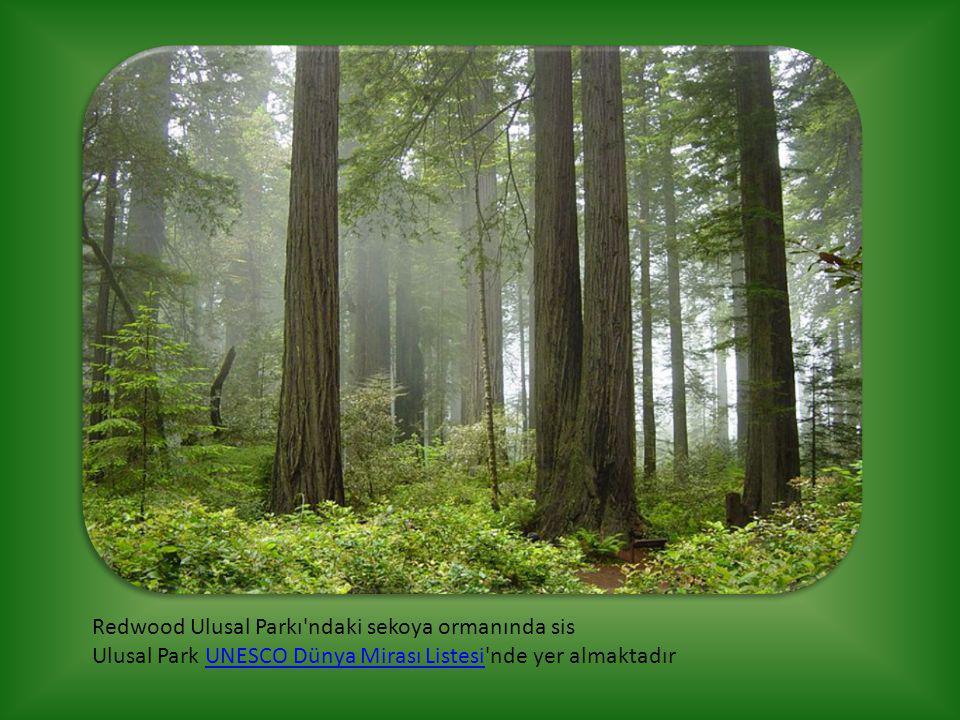 Redwood Ulusal Parkı'ndaki sekoya ormanında sis Ulusal Park UNESCO Dünya Mirası Listesi'nde yer almaktadırUNESCO Dünya Mirası Listesi