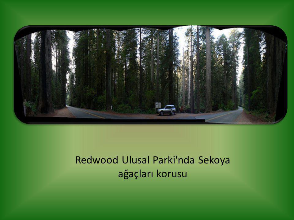 Redwood Ulusal Parki'nda Sekoya ağaçları korusu