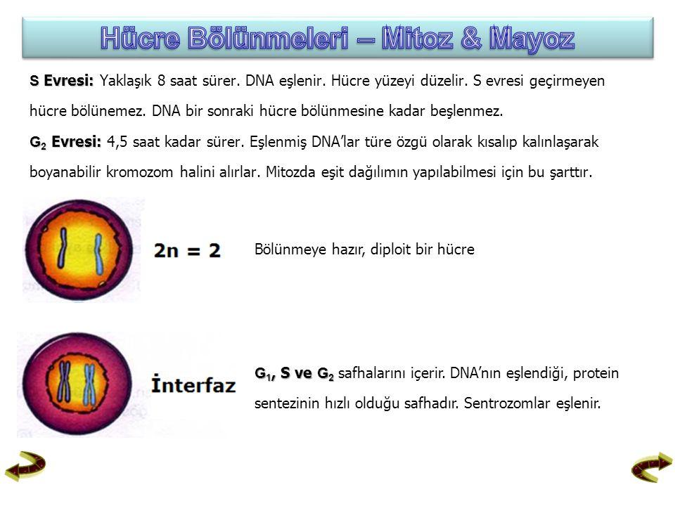 S Evresi: S Evresi: Yaklaşık 8 saat sürer. DNA eşlenir. Hücre yüzeyi düzelir. S evresi geçirmeyen hücre bölünemez. DNA bir sonraki hücre bölünmesine k